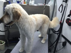 Labradoodle after being groomed